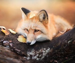 animal, fox, and adorable image