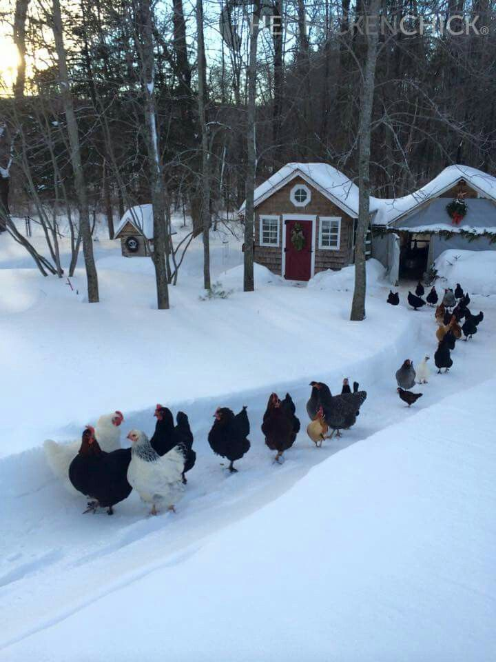 chickens, scenery, and snow image