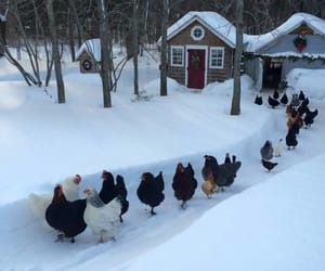 winter, chickens, and scenery image