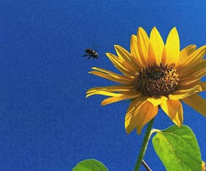 bee and sunflower image