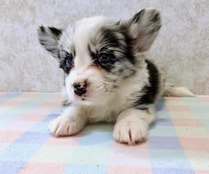 Corgi Puppy @navycorgi on Instagram