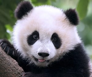 panda, zoo, and pandas image