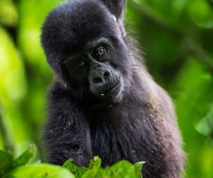 Young Gorilla, Uganda forest by Brice Petit
