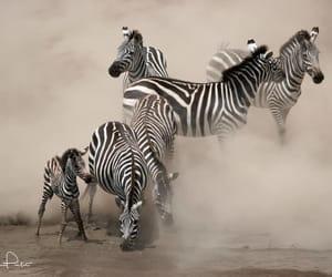 Zebra, Kenya by Brice Petit