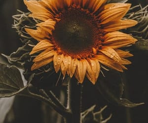 sunflower, aesthetic, and flower image
