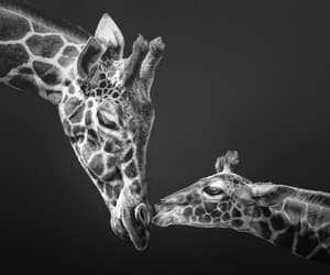 baby animals, black and white, and giraffe image