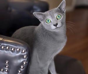 animals, greeneyes, and grey cat image