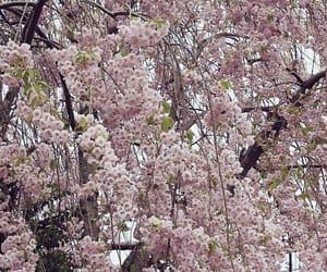 japan, 桜, and 春 image