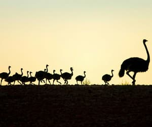 birds, chicks, and ostrich image