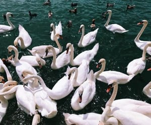 photography, Swan, and aesthetic image