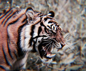tiger, animal, and theme image