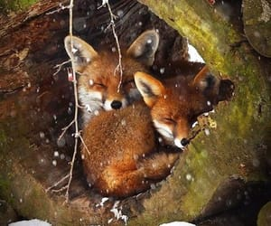 fox, animal, and winter image