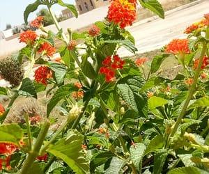 autumn, flowers, and lantama camara image