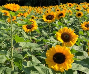 flower, natural, and sunflower image