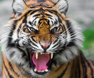 animals, roar, and tiger image