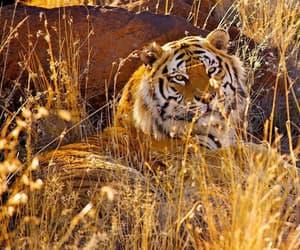 animal and tigres image