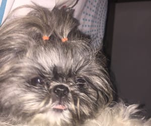 dogs, shihtzu, and perros image