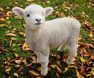 Animales, lindo, and oveja image