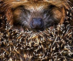 hedgehog, animal, and nature image