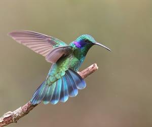 hummingbird, metallic green, and green violetear image