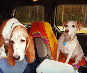 adopted, pets, and basset hound image
