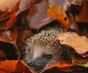 autumn, leaves, and hedgehog image