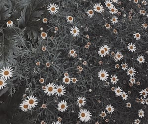 aesthetic, daisies, and flowers image