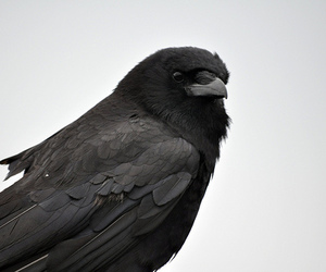 crow and raven image