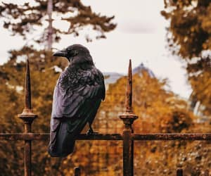 autumn, bird, and crow image