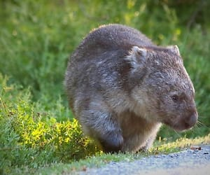 australia, wildlife, and wombat image
