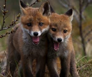 fox, animals, and nature image