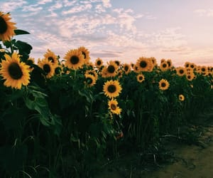 sunflower, nature, and yellow image