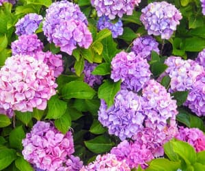 flowers, pink, and hortensia image