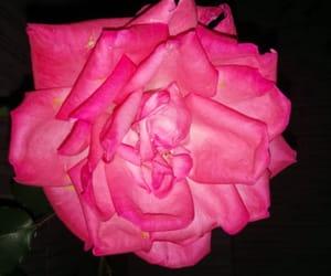 rosa rose pink image