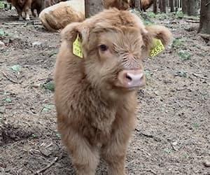 calf, tumblr, and cow image