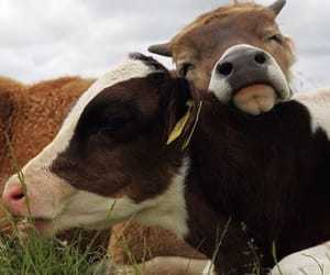cow and tumblr image