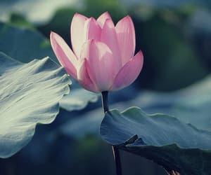 flowers, nature, and flor de lotus image
