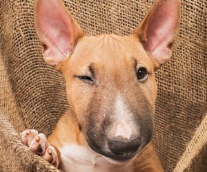 animals, bullterrier, and dogs image