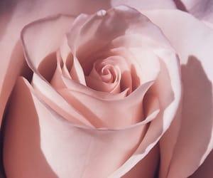 rose, beautiful, and pink image