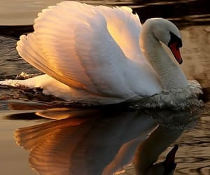 Swan and nature image