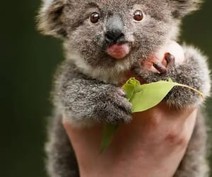 Koala, animal, and naturaleza image
