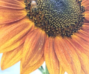 bee, garden, and girasol image