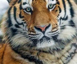 animals, tiger, and beautiful image