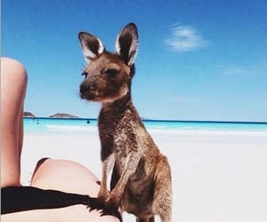 beach, kangaroo, and animal image