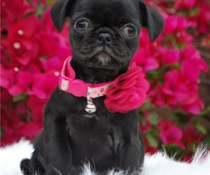 pug, pugs, and puppies image