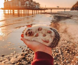 hedgehog, animal, and cute image