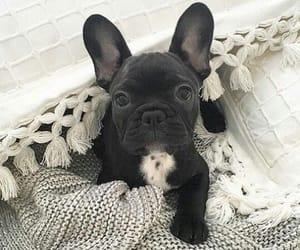 adorable, baby, and pug image