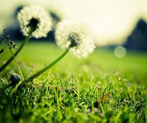 flowers, dandelion, and green image