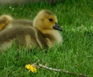 animal, baby, and duckling image