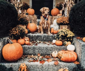 dog, autumn, and pumpkin image